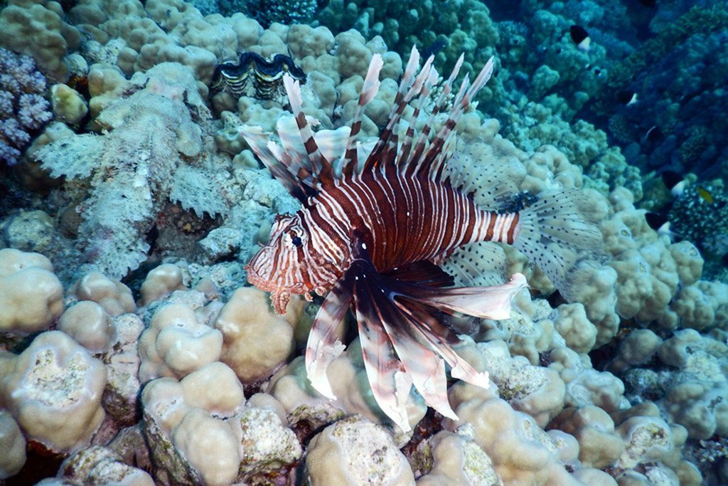 Lionfish Invasion_thumb